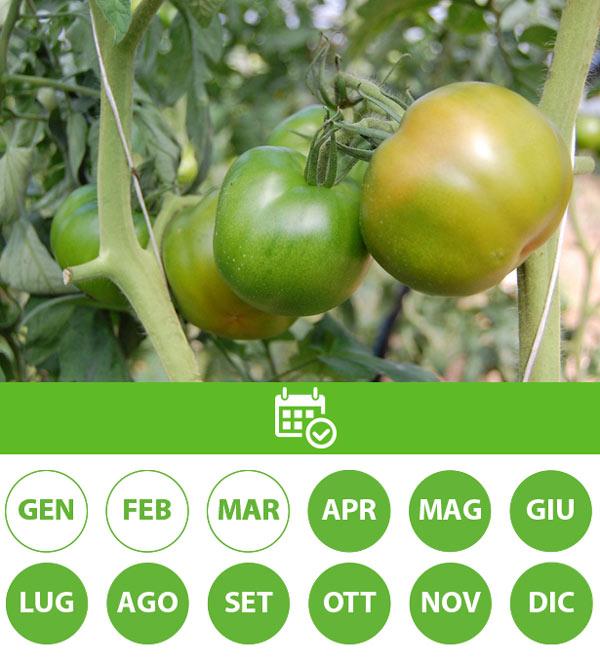 csc-prodotti-pomodoro-tondo-verde