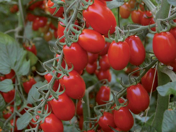 pomodoro piccadilly