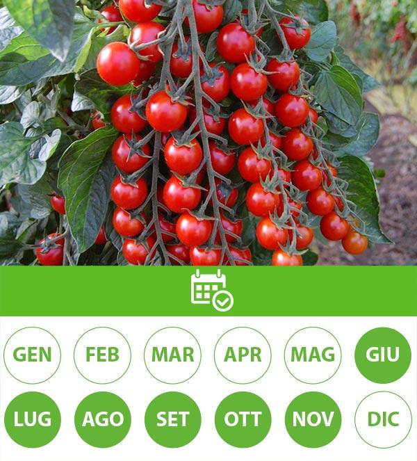 stagionalita pomodori ciliegino
